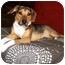 Photo 1 - Beagle/German Shepherd Dog Mix Dog for adoption in Latrobe, Pennsylvania - Darla