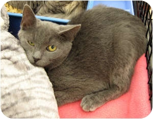 Domestic Shorthair Cat for adoption in Harrisburg, North Carolina - Shadow