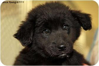 Spaniel (Unknown Type)/Labrador Retriever Mix Puppy for adoption in Republic, Washington - Diana