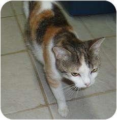 Calico Cat for adoption in Medford, Massachusetts - Bellerina