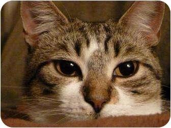 Manx Cat for adoption in Fredericton, New Brunswick - Skittles