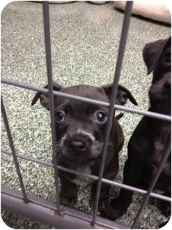 Jack Russell Terrier/Labrador Retriever Mix Puppy for adoption in Simi Valley, California - Shadow