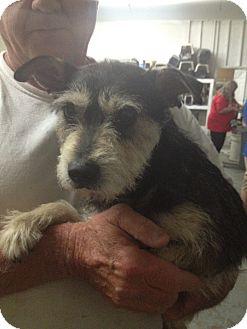 Schnauzer (Miniature) Mix Dog for adoption in Lonedell, Missouri - forrest
