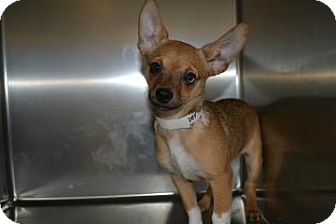 Chihuahua/Dachshund Mix Puppy for adoption in Edwardsville, Illinois - Viper