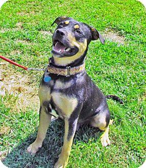 Rottweiler/Labrador Retriever Mix Dog for adoption in North Kingstown, Rhode Island - Chester