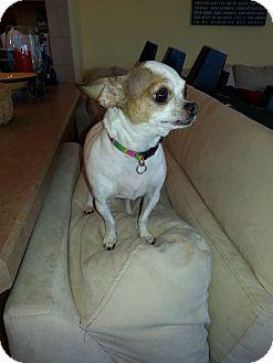 Chihuahua Dog for adoption in Dayton, Ohio - Nina