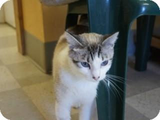 Siamese Cat for adoption in Libby, Montana - Nala