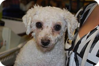 Poodle (Miniature) Mix Dog for adoption in Brooklyn, New York - Sierra