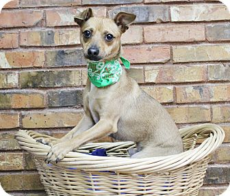 Miniature Pinscher/Chihuahua Mix Dog for adoption in Benbrook, Texas - Zor