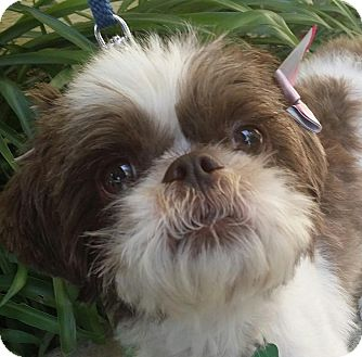 Shih Tzu/Brussels Griffon Mix Dog for adoption in Inland Empire, California - SOPHIE
