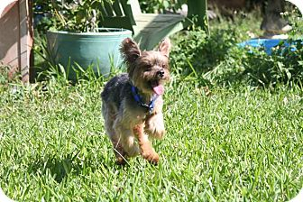 Yorkie, Yorkshire Terrier Mix Dog for adoption in Palmetto Bay, Florida - michael