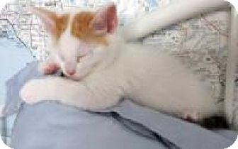 Turkish Van Kitten for adoption in Mission Viejo, California - Ariel and Sebastian