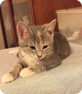 Calico Kitten for adoption in Smithfield, North Carolina - Gabby
