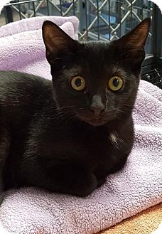 Domestic Shorthair Cat for adoption in Freeport, New York - Georgette