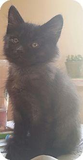 Domestic Mediumhair Kitten for adoption in Palatine, Illinois - Penelope