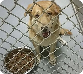 Golden Retriever/Border Collie Mix Dog for adoption in whiting, New Jersey - maggie mae