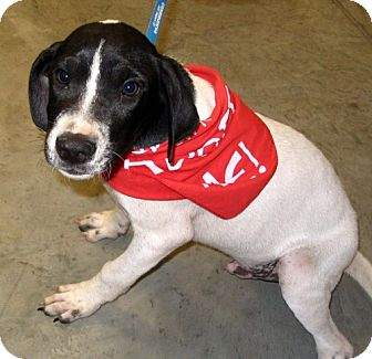 Pointer/Hound (Unknown Type) Mix Dog for adoption in Melrose, Florida - Ace