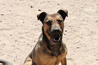 Australian Cattle Dog/Hound (Unknown Type) Mix Dog for adoption in Golden Valley, Arizona - Meg