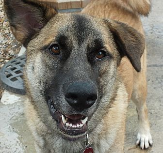 Anatolian Shepherd/German Shepherd Dog Mix Dog for adoption in Minneapolis, Minnesota - Paisley