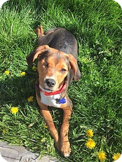Beagle/Pit Bull Terrier Mix Dog for adoption in Warrenville, Illinois - Bagel