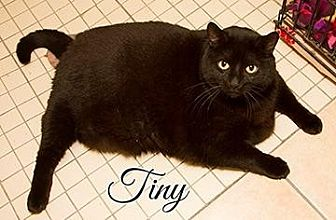 Domestic Shorthair Cat for adoption in Fall River, Massachusetts - TINY