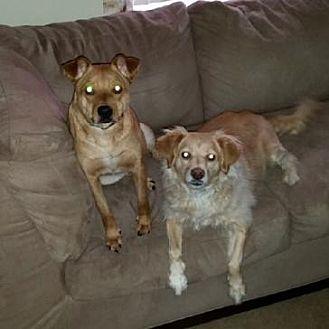 Beagle/Terrier (Unknown Type, Medium) Mix Dog for adoption in Doylestown, Pennsylvania - Jetson and Joy
