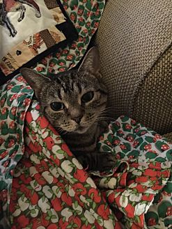 Domestic Shorthair Cat for adoption in Portland, Oregon - Cassaundra