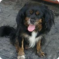 Adopt A Pet :: Shug - Irmo, SC