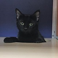 Domestic Shorthair/Domestic Shorthair Mix Cat for adoption in Philadelphia, Pennsylvania - Bugle
