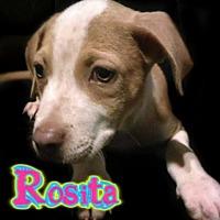 Adopt A Pet :: Rosita - Des Moines, IA
