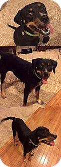 Beagle/Labrador Retriever Mix Dog for adoption in Chantilly, Virginia - Lady Liberty