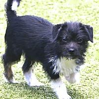 Adopt A Pet :: Wiggles - Norwalk, CT