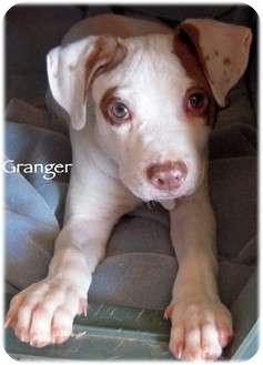 Pointer/Labrador Retriever Mix Puppy for adoption in Mandeville Canyon, California - Granger