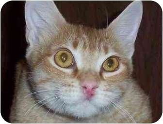 Domestic Shorthair Cat for adoption in San Diego/North County, California - Sunkist