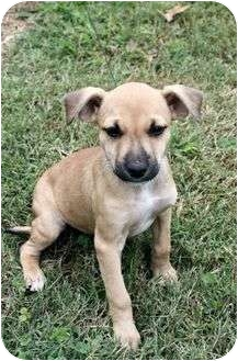 Boxer Mix Puppy for adoption in Spring Valley, New York - Becky