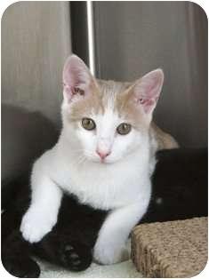 Domestic Shorthair Kitten for adoption in Norwalk, Connecticut - Moorehouse