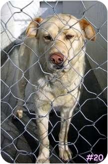 Labrador Retriever Mix Dog for adoption in Floyd, Virginia - URGENT - At Pound #20