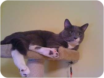 Domestic Shorthair Cat for adoption in Clarksville, Indiana - Cash -URGENT
