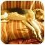 Photo 1 - Treeing Walker Coonhound Dog for adoption in York, South Carolina - Lancelot