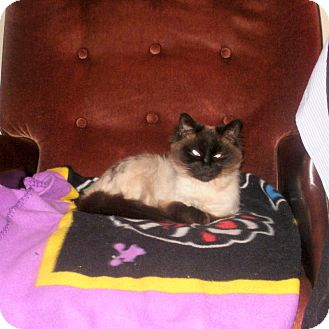 Siamese Cat for adoption in Toronto, Ontario - Dharma