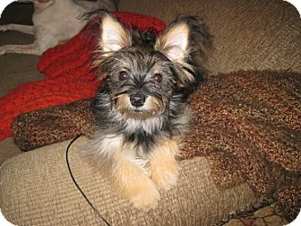 Yorkie, Yorkshire Terrier Mix Puppy for adoption in Palm Harbor, Florida - Sophie