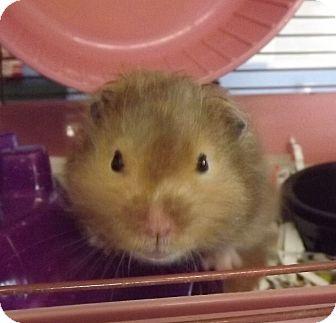 Hamster for adoption in Murphysboro, Illinois - Nibbler