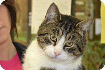 Domestic Shorthair Cat for adoption in Elyria, Ohio - Chester
