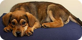 Labrador Retriever/Hound (Unknown Type) Mix Puppy for adoption in Mt. Prospect, Illinois - Copper
