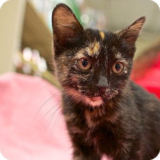 Domestic Shorthair Kitten for adoption in Houston, Texas - Lupe