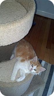 Domestic Longhair Kitten for adoption in Smithfield, North Carolina - Lucca