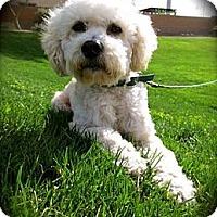 Adopt A Pet :: Buddy - Santa Monica, CA