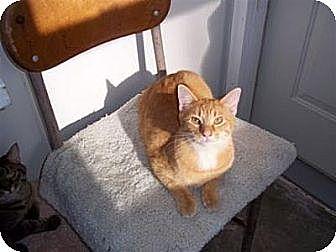 Domestic Shorthair Cat for adoption in Ashland, Ohio - Benedict