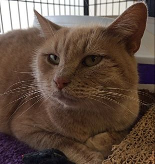 Domestic Shorthair Cat for adoption in Bear, Delaware - Bambina