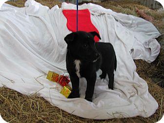 Border Collie Mix Puppy for adoption in Hartford, Connecticut - Juliet